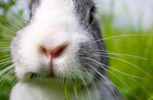 Curiosidad: A los conejos le crecen los dientes durante toda su vida